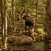 Moose (Alces alces) June, 4 2011.