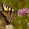 Eastern Tiger Swallowtail (Papilio glaucus) on Red Clover (Trifolium pratense)<br /> June 9, 2010.