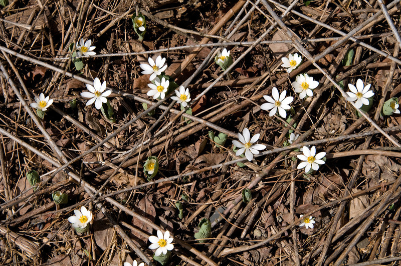 April 12 - Bloodroot (Sanguinaria canadensis) is a perennial, herbaceous flowering plant native to eastern North America<br /> Around the corner from my home.