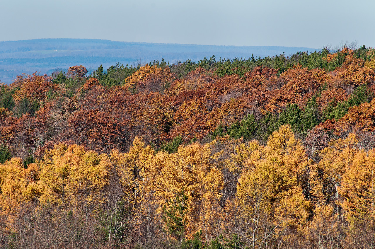 November 6 - Most of the trees in the area have lost their color and leaves.  Now it's time for the larch trees to show their stuff.  Most larch and oak in this picture near Sherburne, NY
