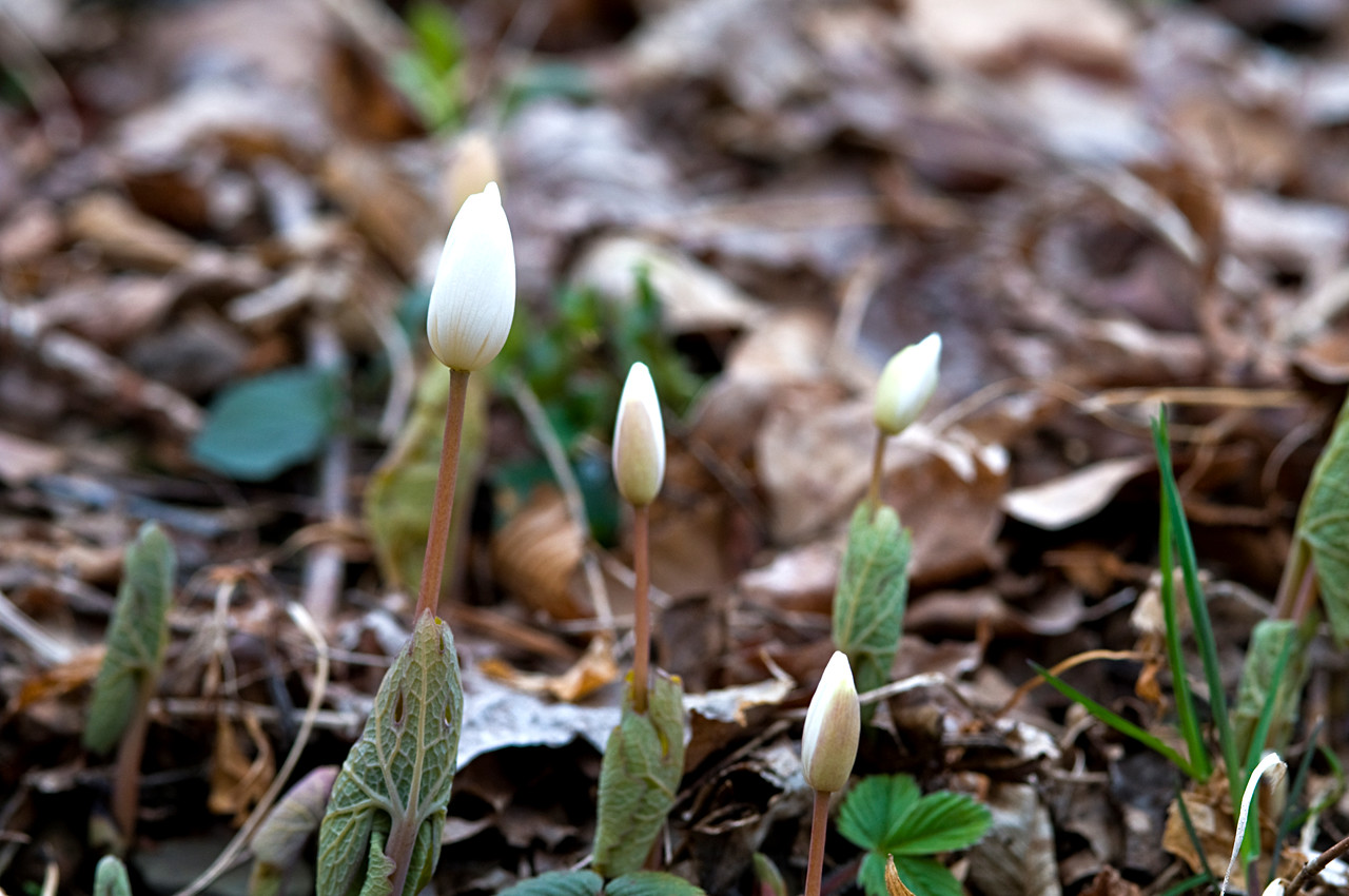 April 21 - Bloodroot
