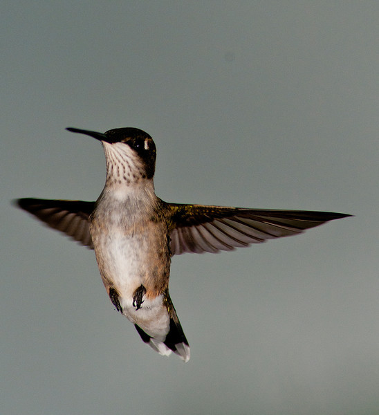 August 11 - I have so much more respect for photographers that photograph hummingbirds. I spent a few hours today to get this shot.