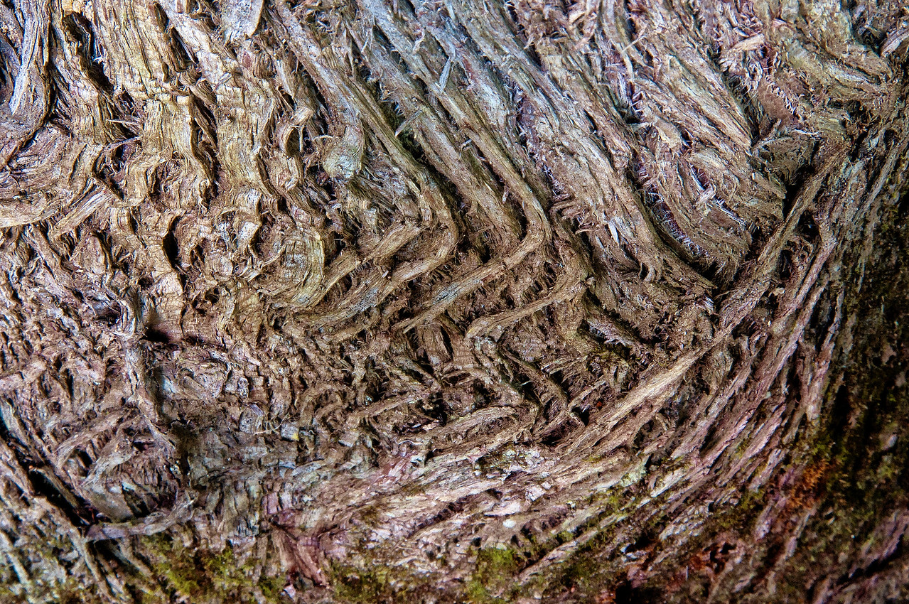 August 13 - Bark of a white cedar looking down the tree trunk.