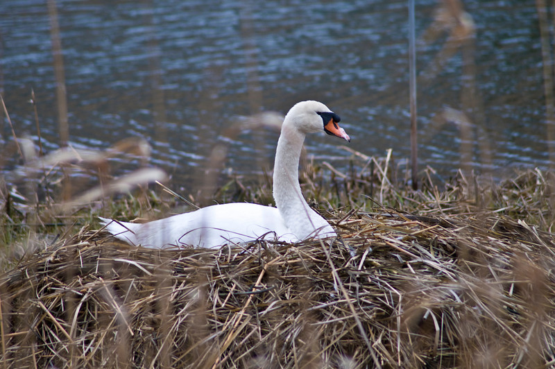 April 5 - Mute Swan.  Don't get too close!  They are very aggressive.