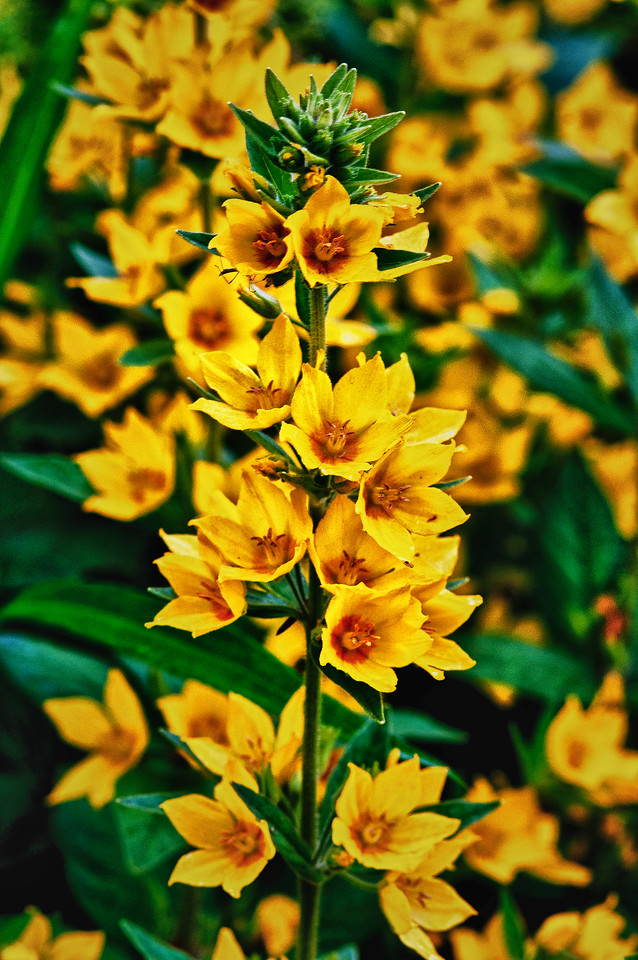 June 29 - Whorled Loosestrife.  Somedays it is so easy to capture a great shot while others it's a struggle to get a passable shot.  It was windy and rained on and off all day.  What you don't see in the photo is that I am holding an umbrella over the tripod.