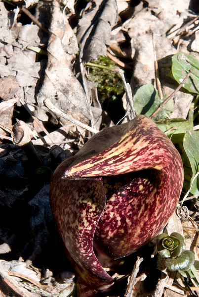 April 3 - This is the first wildflower that blooms in this area, Skunk Cabbage.