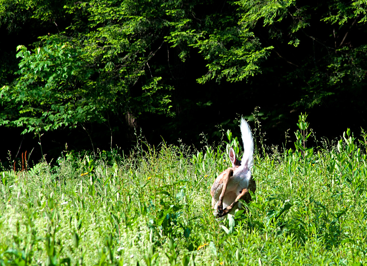 June 16 - There is the perfect shot.  The deer gracefully grazing unaware of my existence.  And then there is the time to raise the flag and get out of here!  Brookfield State Lands.