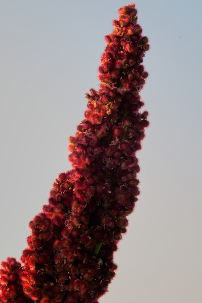 August 2 - Staghorn Sumac right after sunrise.