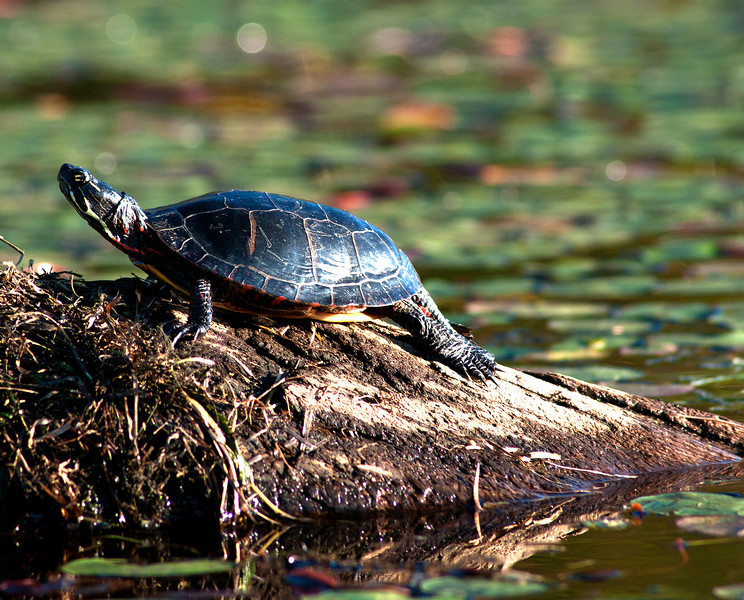 September 18 - Painted Turtle sunning at Hunts Pond, New Berlin, NY