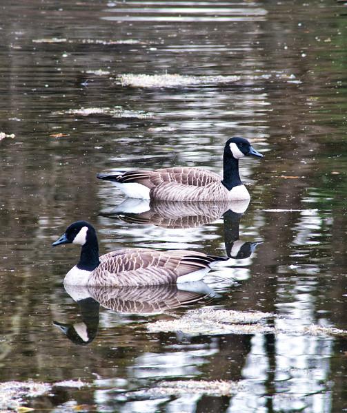 November 15 - Guard Geese