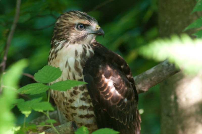 August 4 - Imature hawk in the Brookfield Horse Trails.