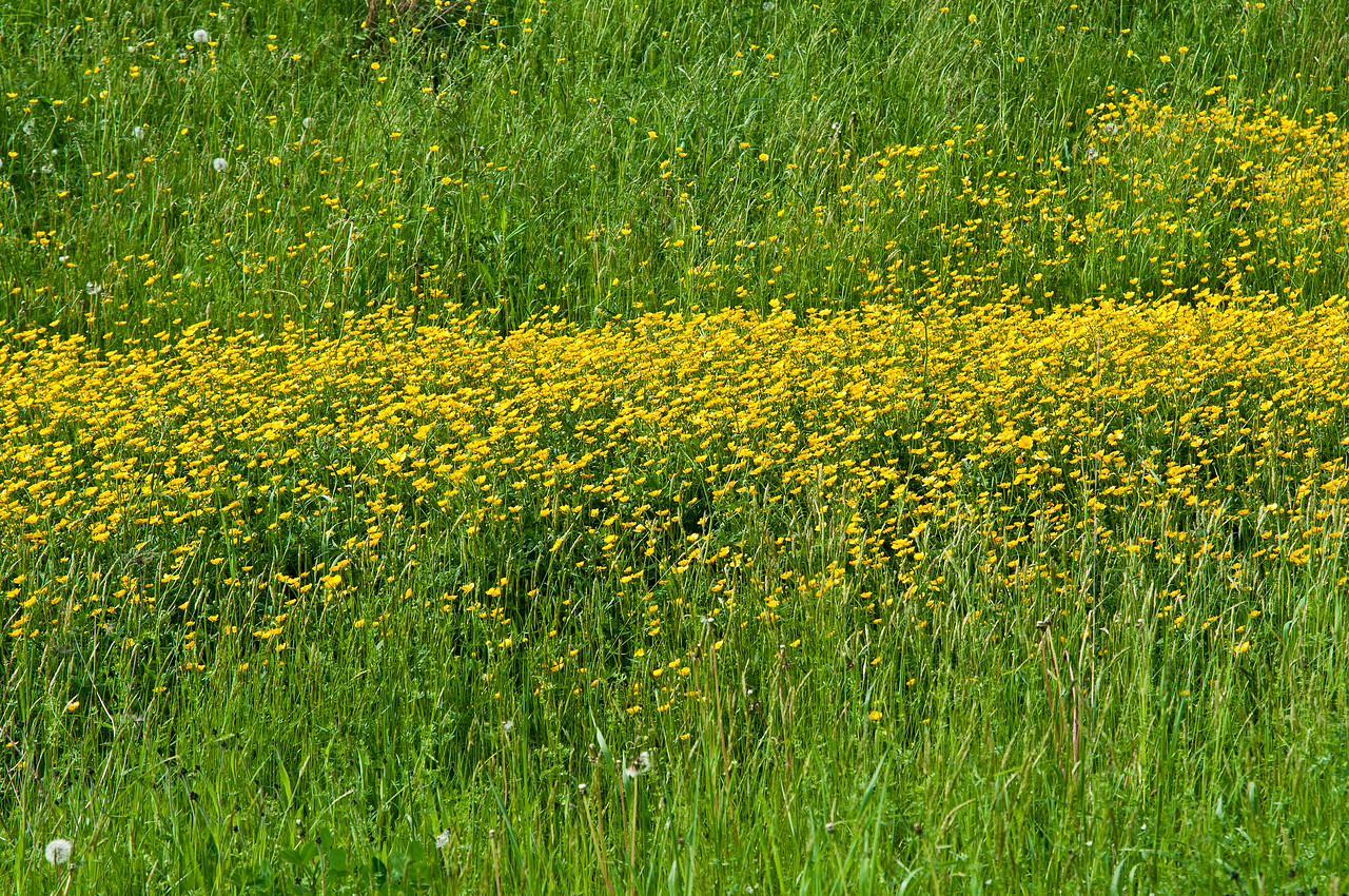 May 27 - Buttercups in a field around the block from my house.  Mind you my block is 7 miles around.