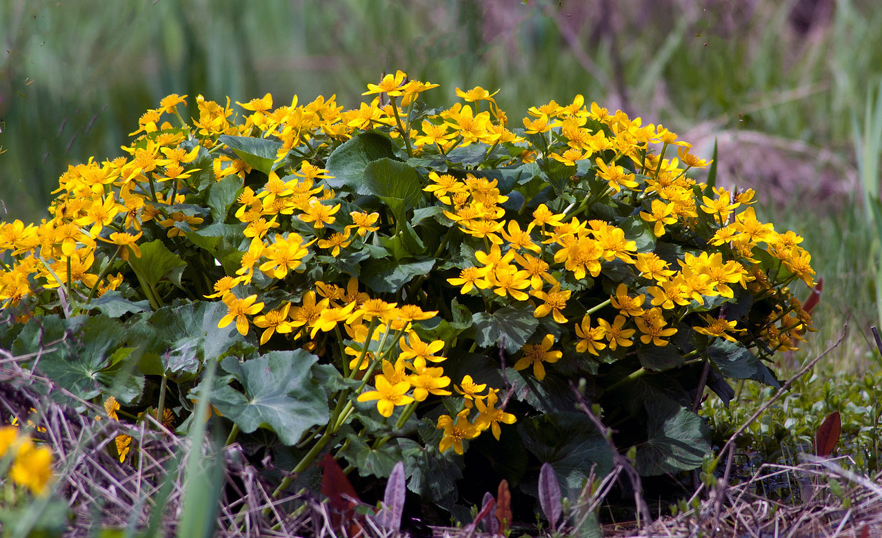 May 6 - Marsh Marigolds