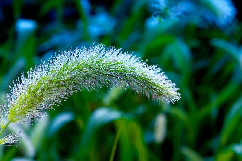 August 17 - Winter Wheat in the garden.