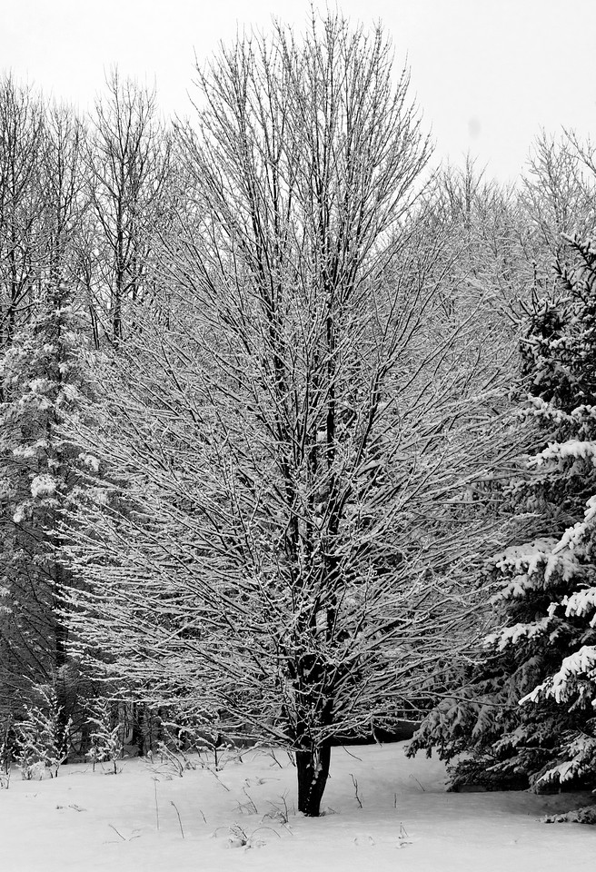 March 21 - Awoke this morning to snow, sticky snow.  This is a tree next to my pond.