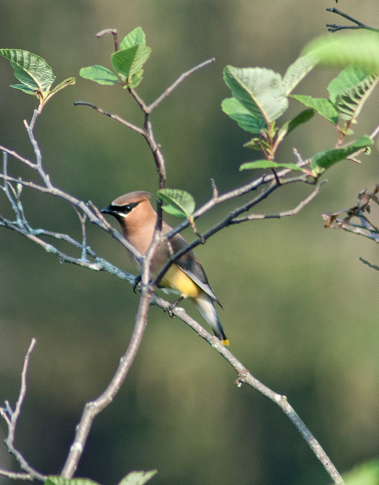 July 20 - Cedar Waxwing at the Rogers Environmental Education Center this morning.