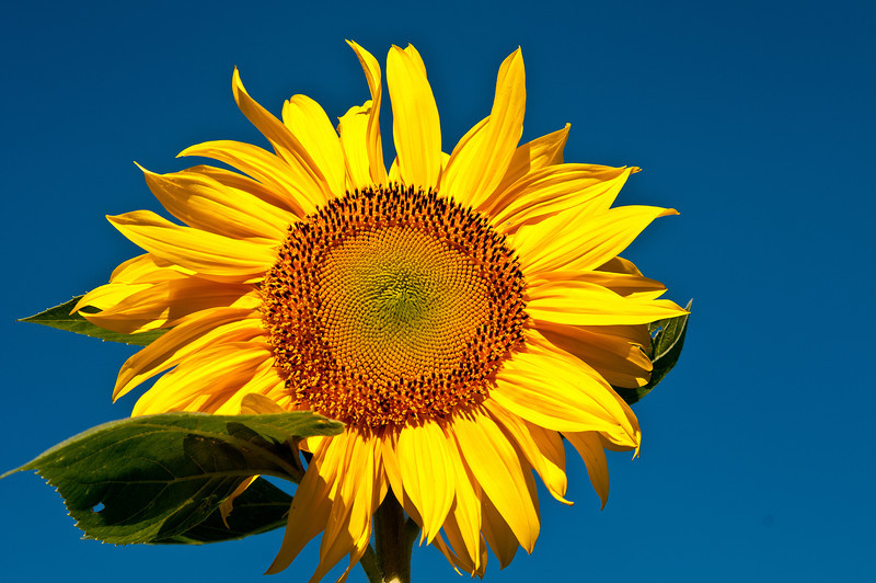 August 23 - Sunflower today!  Taken just up the road for Golden Artist Colors.  They are great!
