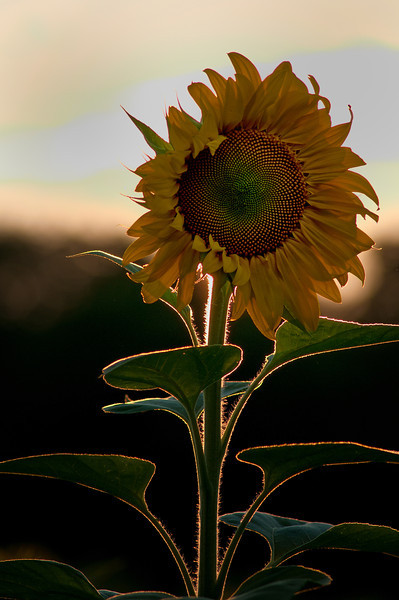 August 21 - Sunflower looking away from the sun at sunset.