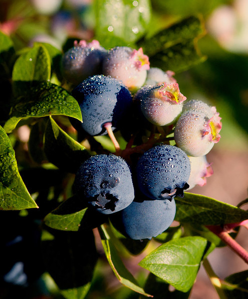 July 26 - Blueberries today!