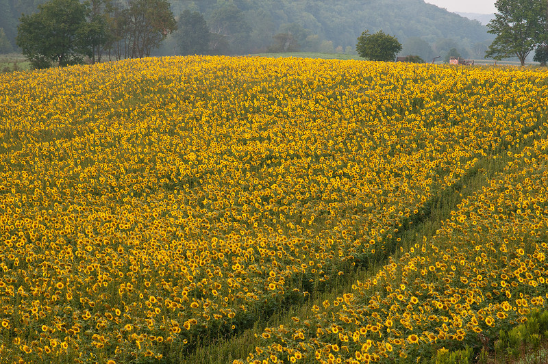 August 27 - Sunflowers between Elmira and Ithaca, NY