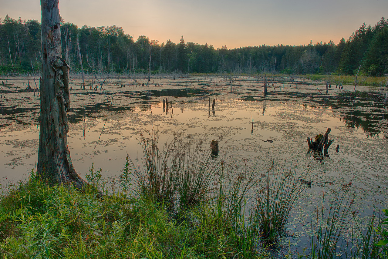 August 6 - Bushwhacked to a beaver pond this evening.  Brookfield State Lands about 2 miles from my home.