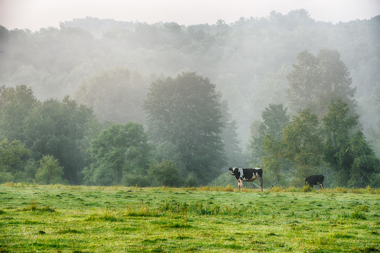 August 1 - Foggy Cow Morning