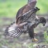 May 27 - Immature Bald Eagle