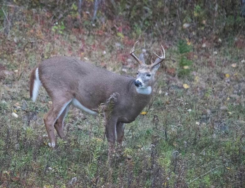 October 24 - Buck in my yard