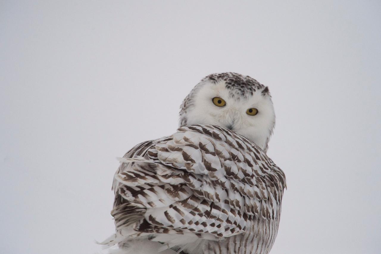 February 7 - snowy owl