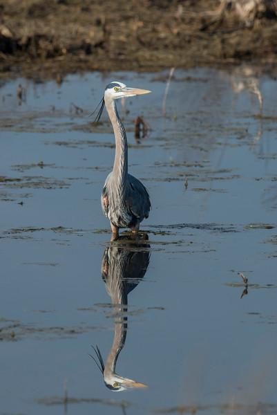 April 30 - Great Blue Heron