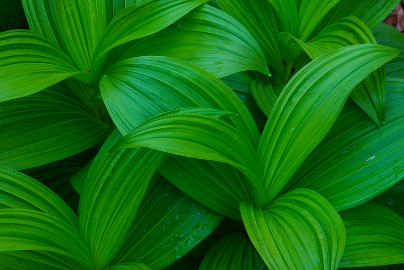 May 2 - False Hellebore