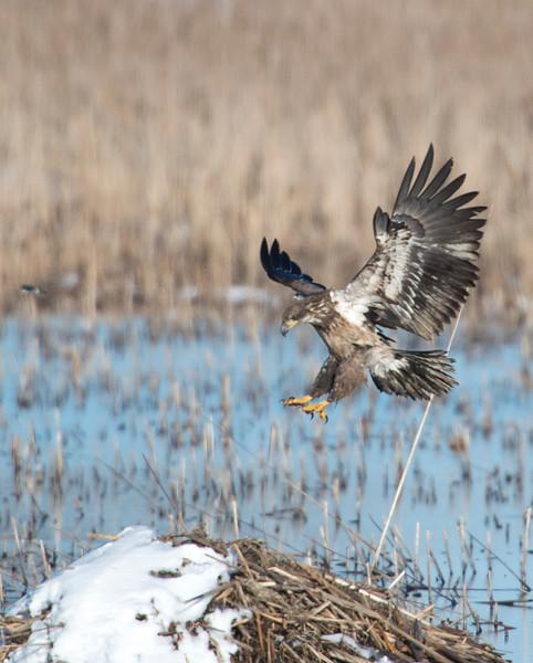 April 5 - Immature Bald Eagle
