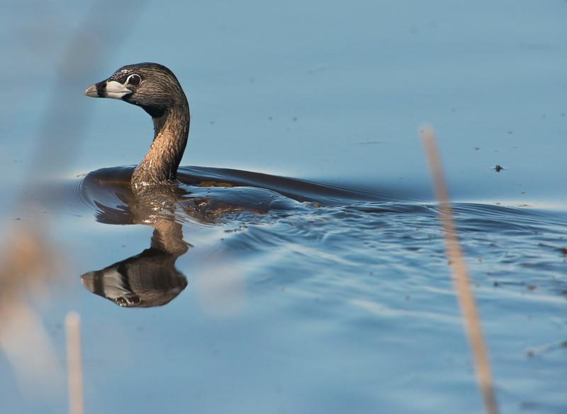 April 18 - Pied-billed Grebe