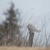 February 6 - Snowy Owl