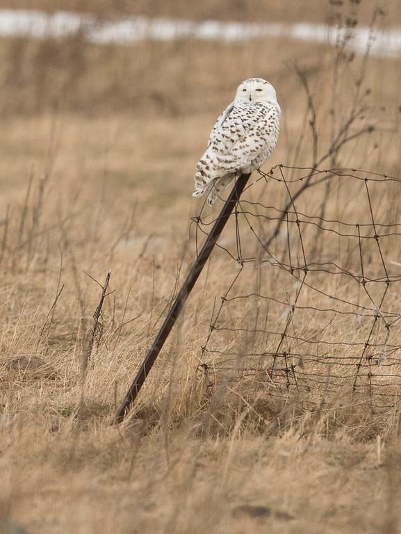 February 2 - Snowy Owl
