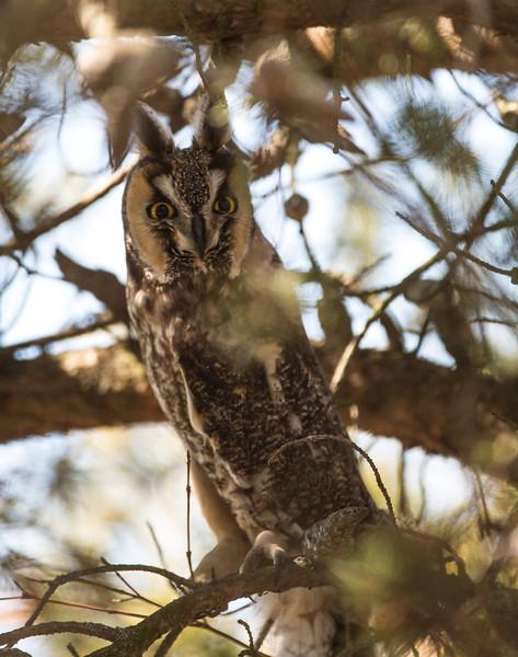 March 29 - Long Eared Owl