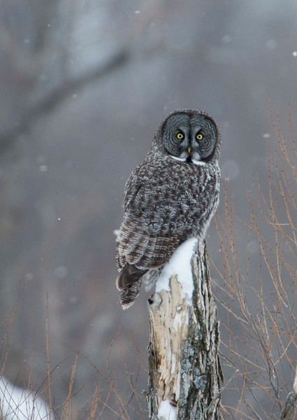 February 13 - Great Gray Owl