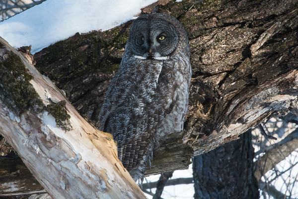 February 18 - Great Gray Owl