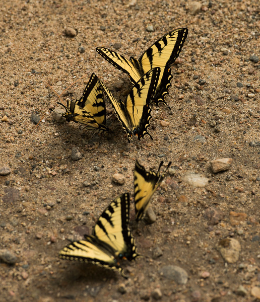July 18 - Swallowtails
