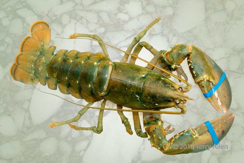 Rare green lobster