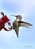 Anna's hummingbird at a feeder
