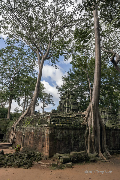 Encroaching trees at Ta Prohm