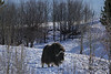 Musk ox in the snow.