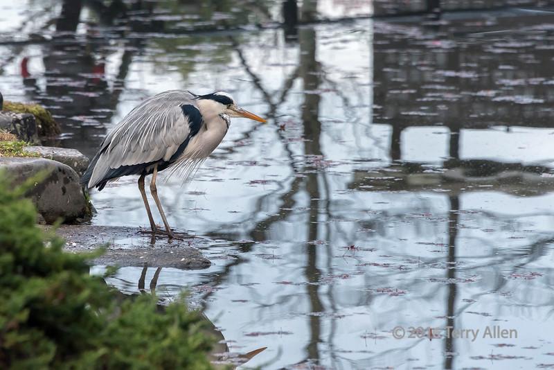 Japanese grey heron