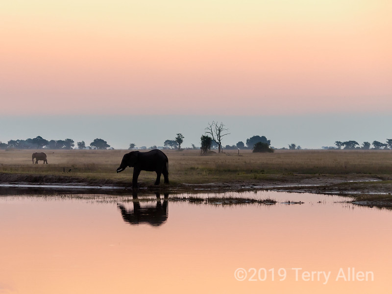 Elephant at sunset feeding on the grasses by the Chobe River, Chobe National Park, Botswana<br /> <br /> The blue line in the sky is a good example of the atmospheric phenomenon known as the Belt of Venus (or Venus' Girdle), where the earth's shadow can been seen in the sky opposite the sunset.  Often the best and most subtle colors at sunset and sunrise can be found in the sky opposite the sun.<br /> <br /> My big computer has packed it in (they are sending a free replacement), so I am featuring some photos from a gallery of photos taken this past summer in Botswana.  Chobe National Park is famous for its large populations of elephants.