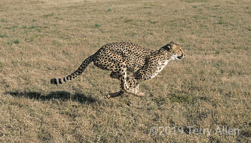 Running cheetah with all feet in the air, Otjiwarongo, Namibia<br /> <br /> The subject of this photo harkens back to the time of Eadweard Muybridge, the inventor of cinematography.  In the late 1800s a debate raged about whether all four feet of a trotting horse are ever off the ground at the same time, and Muybridge was commissioned to look for a novel way to solve the question. He was hired by the railroad baron Leland Stanford to photograph Occident, one of his champion trotters, in motion.  His photographs of the horse in 1878 (recently on exhibition at the Tate Gallery in London) proved that there is an instant when a running horse does, indeed, have all feet off the ground.  This occurs in the horse, as well as in the cheetah, when the front legs extend back and the back legs extend forward, generating maximum power.<br /> <br /> Muybridge's high speed mechanical shutters were the prelude to the modern camera, and his invention of the zoopraxiscope to show his still pictures in rapid sequence were the prelude to cinema.