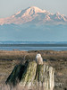 Snowy owl and snowy mountain, Delta BC<br /> <br /> Most of the snowy owls have left now, but there were 2 or 3 down at the Delta Dykes on Friday afternoon around 4 pm.  What was special was that it was a sunny afternoon and Mount Baker had 'lifted its veil'.  It is rare to see the whole mountain like this during the winter months, and even more rare to be able to be able to photograph both the mountain and a snowy owl!!  It was just serendipity that I decided to brave the tunnel traffic and go down to the dykes on Friday afternoon, and that there was a snowy owl within lens distance!