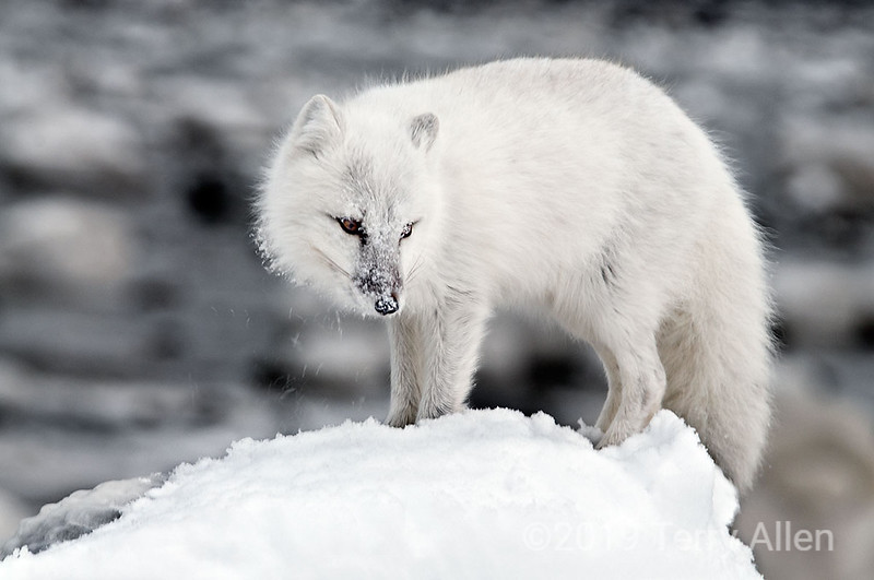 Arctic fox standing on a snow-covered rock, Seal River Lodge<br /> <br /> These adorable little foxes change their color in the winter from grey-brown to white.