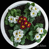 A sign of spring; time to plant primulas outdoors in Vancouver!<br /> <br /> This photo was taken outdoors in natural light in the shade at F22, ISO 400, 1/10 sec.  The white pot made a nice circular frame around the flowers.  The photo edges were darkened in photoshop.