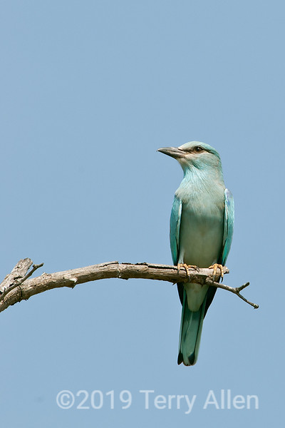 """European roller (Coracias garrulus), Botswana<br /> <br /> These beautiful birds are the only members of the roller family to breed in Europe and migrate to Southern Africa.  It is starting to become threatened.<br /> <br /> Today I have posted a number of photos of beautiful birds from Botswana.  Other bird photos can be seen here <a href=""""http://goo.gl/4tnQ2"""">http://goo.gl/4tnQ2</a>."""